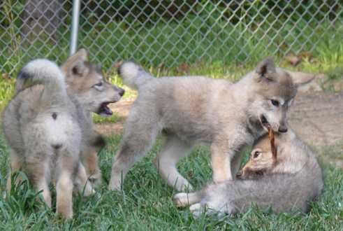 Wolf pup wrestling picture
