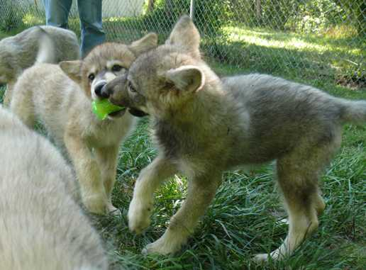 wolf pup tug o war picture