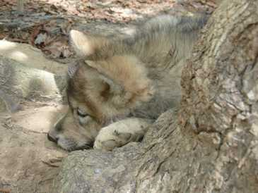 female wolf pup sleeping picture
