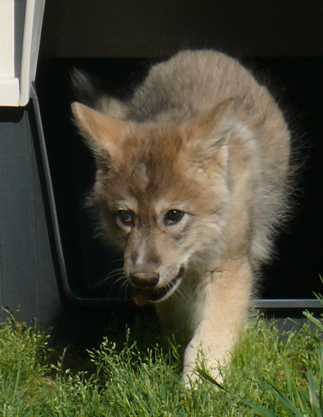 female wolf pup 62 days old picture