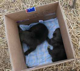 wolf pups pulled from den picture